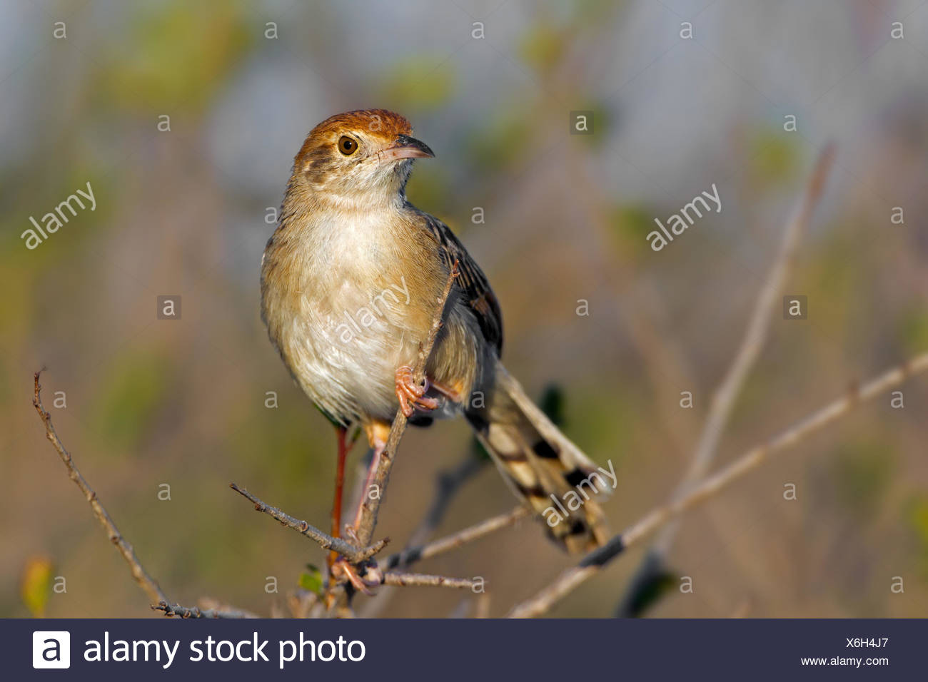 rattling cisticola (Cisticola chiniana), sitting on a sprout, South Africa, Krueger National Park, Letaba Camp - Stock Image