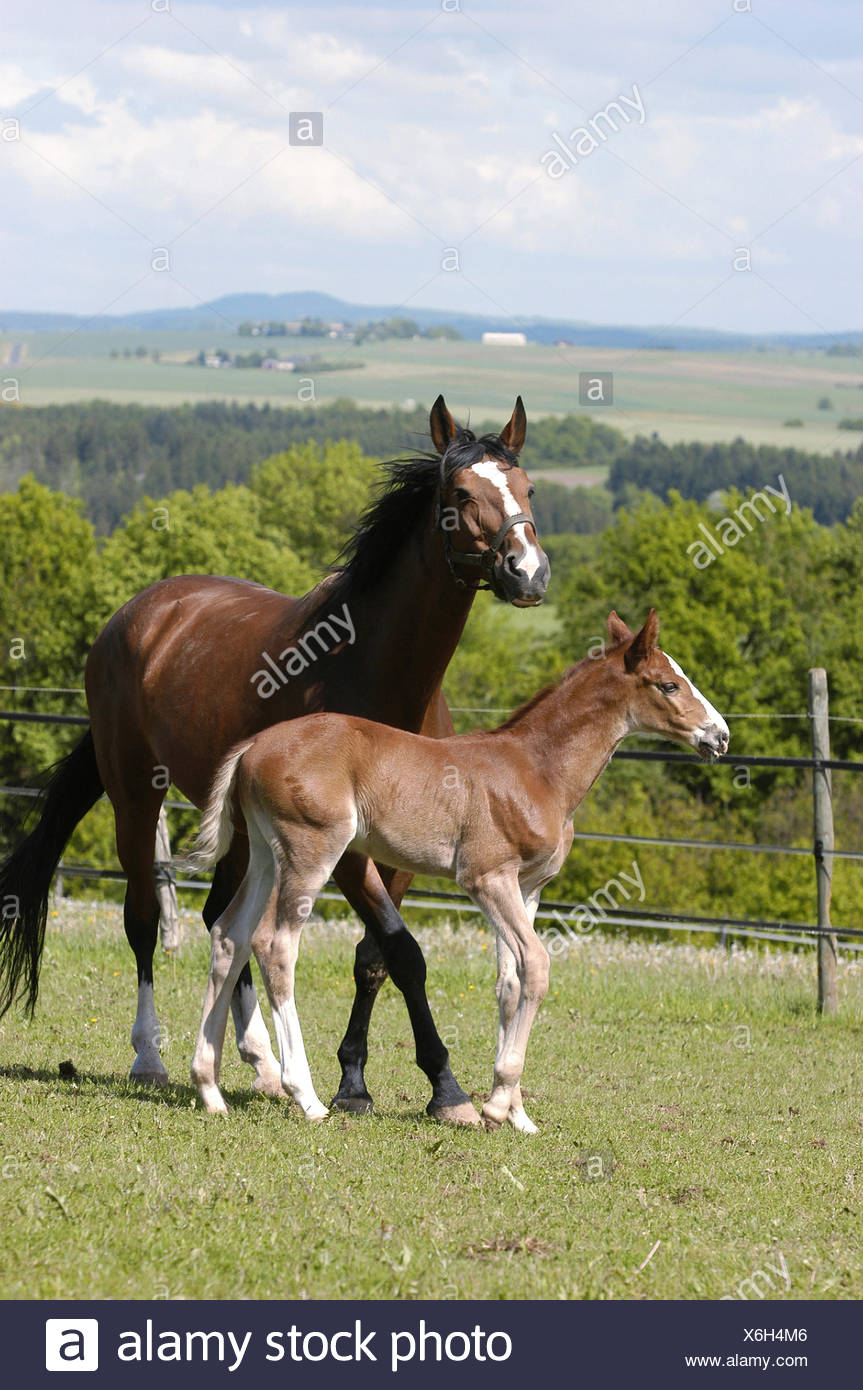 German warmblood Horse, mare with foal Stock Photo