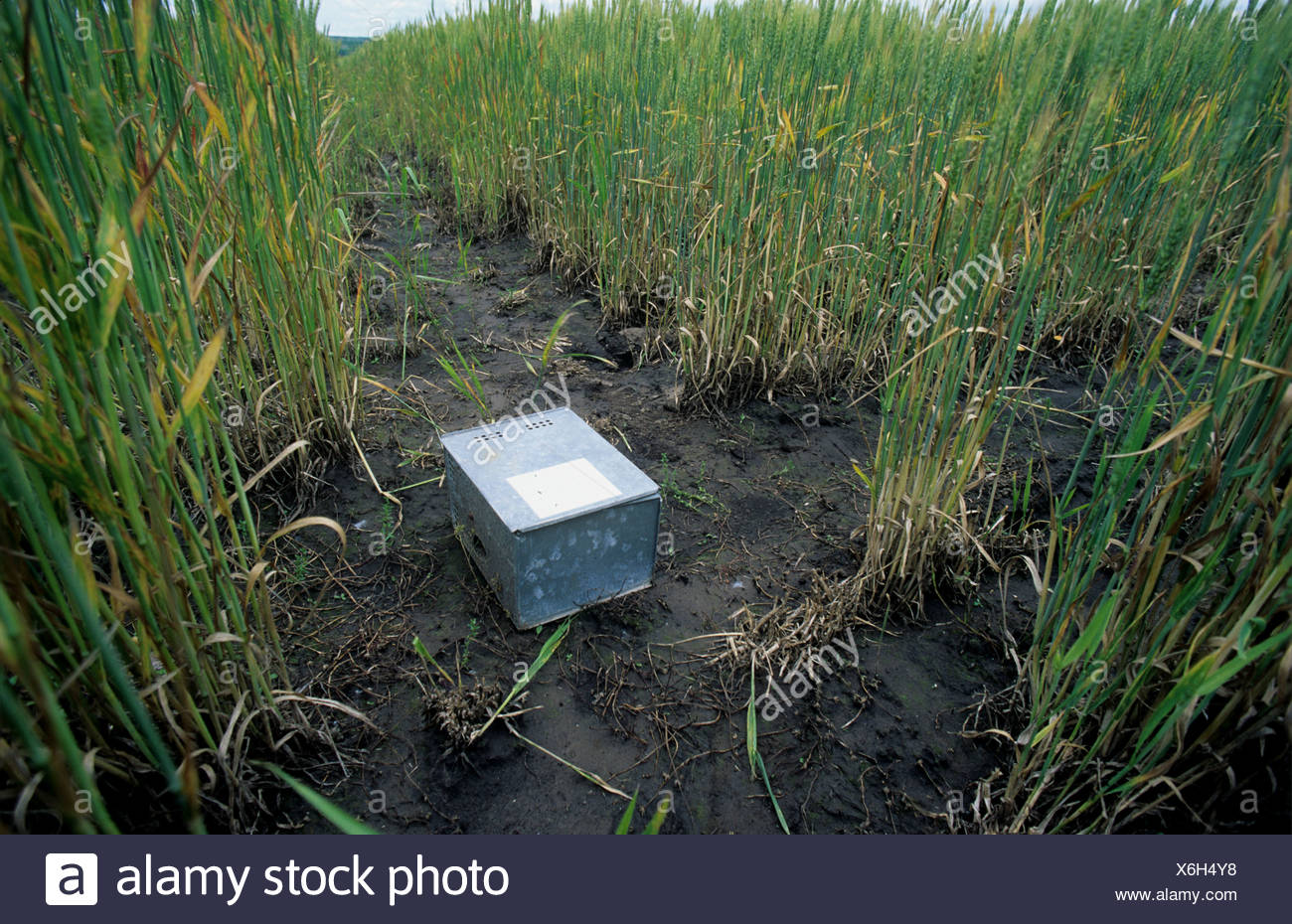 Trap for rats or mice in damaged wheat crop in ear Kansas USA - Stock Image