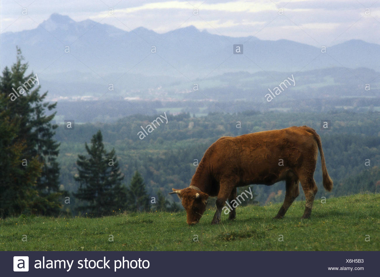 Mountain meadow, cow, eat,    Alm, meadow, animal, mammal, usefulness animal, cow, cattle, animal husbandry appropriate to the species, livestock farming, cattle-breeding, agriculture, summer pasture, summer, - Stock Image