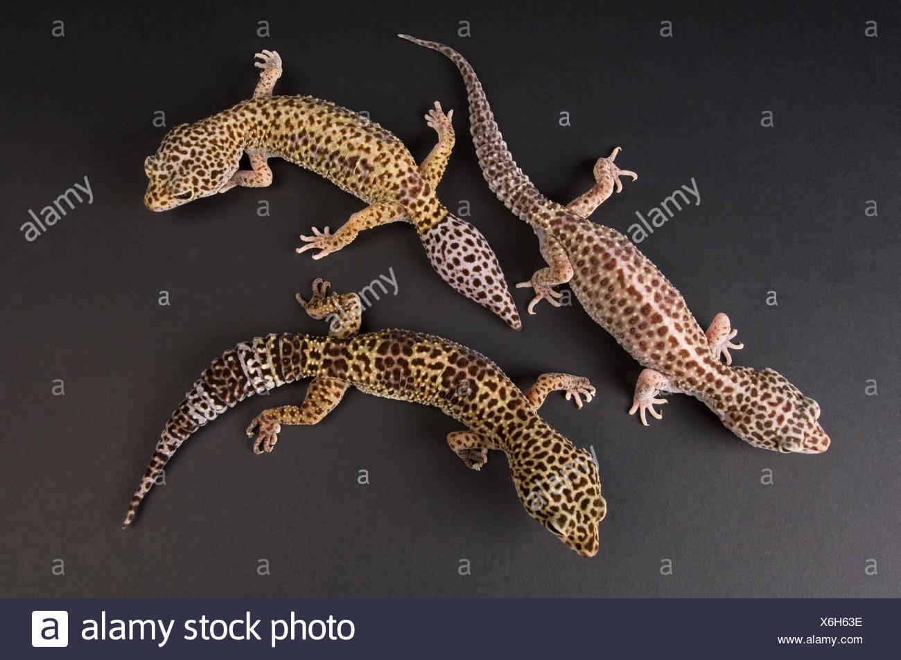 three female leopard geckos eublepharis macularius at the zoo