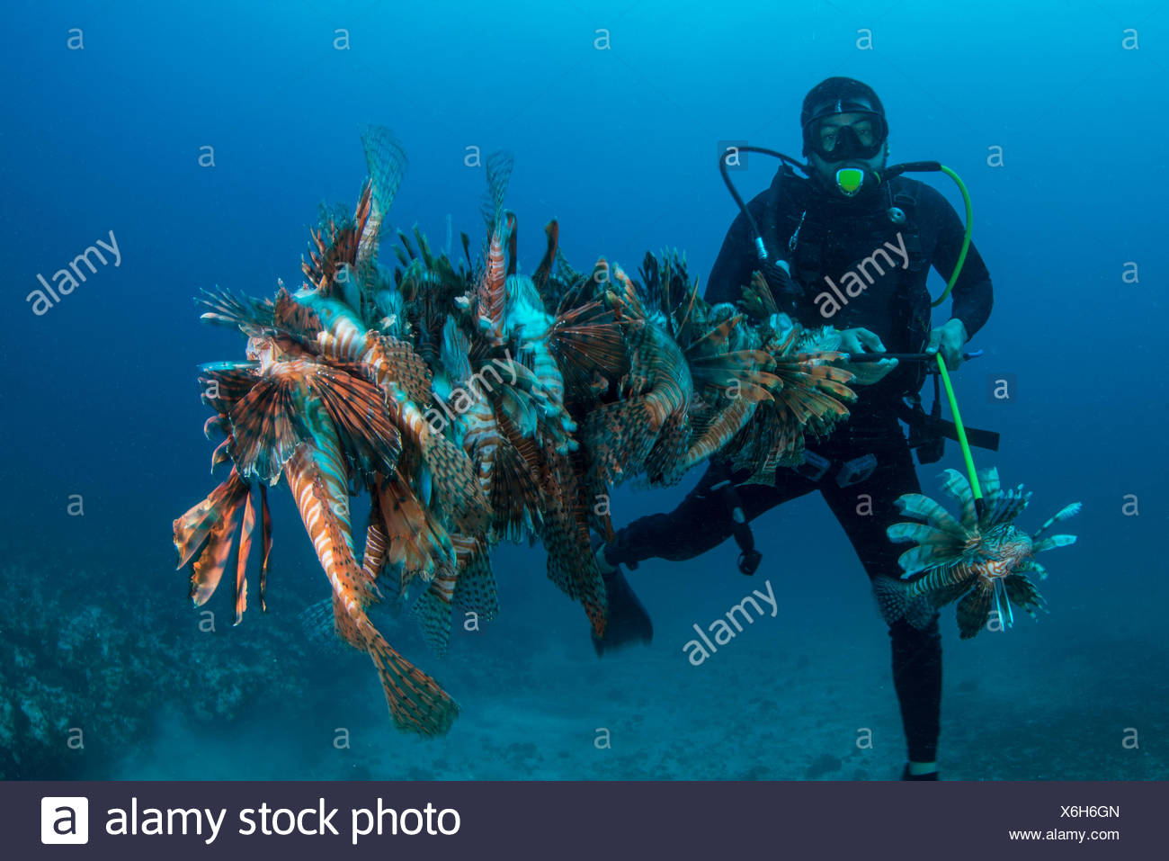 Diver collects invasive lionfish from local reef - Stock Image