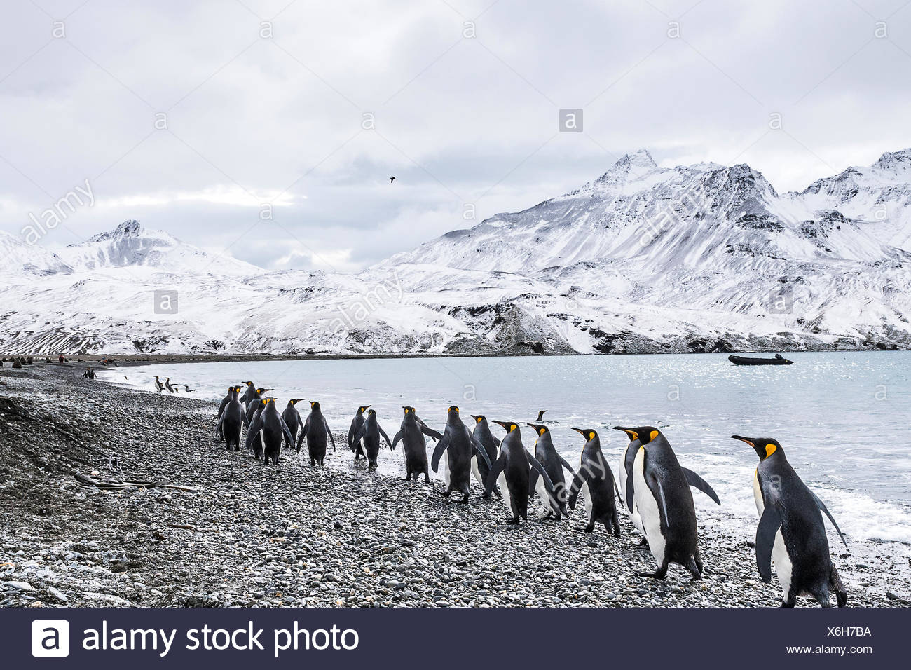 King penguins (Aptenodytes patagonicus) walking in a row along the water's edge and a zodiac moored in the water along the coast - Stock Image