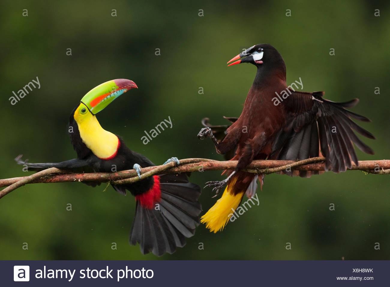 Keel-billed Toucan (Ramphastos sulfuratus) in aggressive encounter with a Montezuma Oropendola (Psarocolius montezuma), Laguna del Lagarto, Santa Rita, Costa Rica - Stock Image