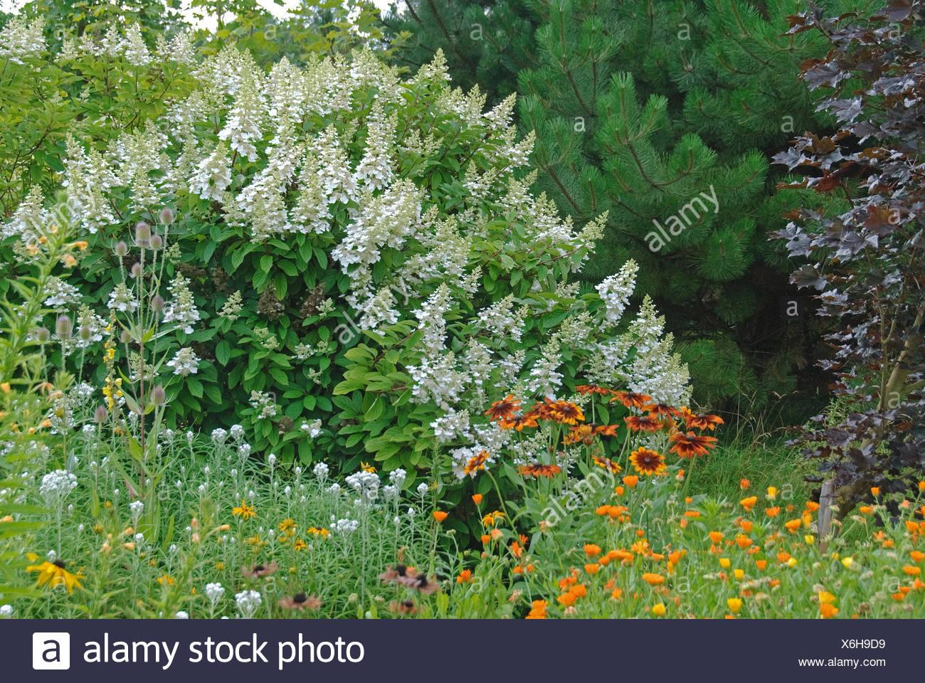 Panicle hydrangea (Hydrangea paniculata 'Kyushu', Hydrangea paniculata Kyushu), cultivar Kyushu, blooming - Stock Image