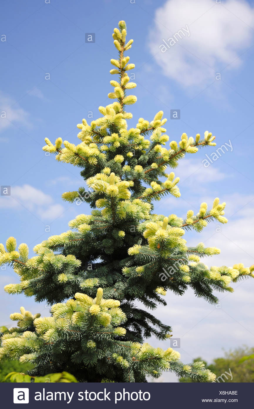 Colorado blue spruce (Picea pungens 'Glauca Albospica', Picea pungens Glauca Albospica), cultivar Glauca Albospica - Stock Image