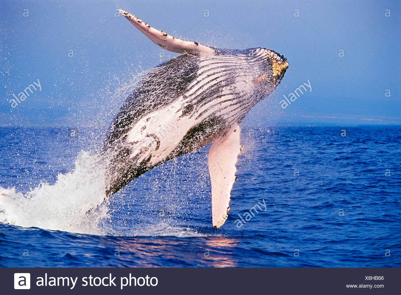 Breaching Humpback Whale, Megaptera novaeangliae, Hawaii, USA - Stock Image