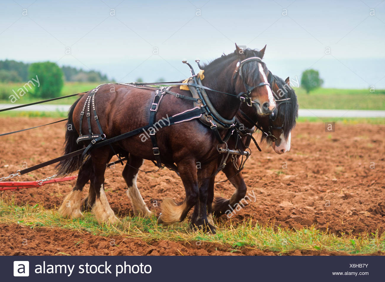 Clydesdale draft horses, Little Sands, Prince Edward Island, Canada - Stock Image