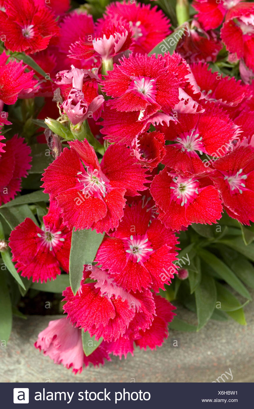DIANTHUS CHINENSIS IDEAL SELECT RED - Stock Image