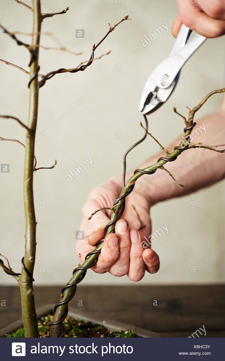 Unwiring a bonsai Carpinus betulus (European Hornbeam) - Stock Image