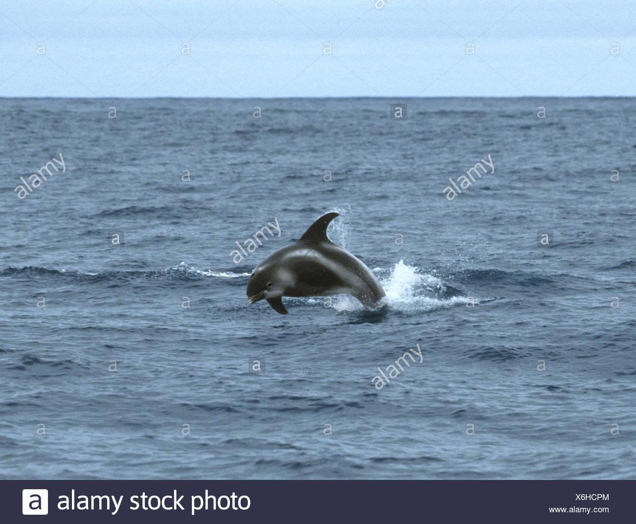 White-beaked Dolphin - Lagenorhynchus albirostris Delphinidae - Stock Image