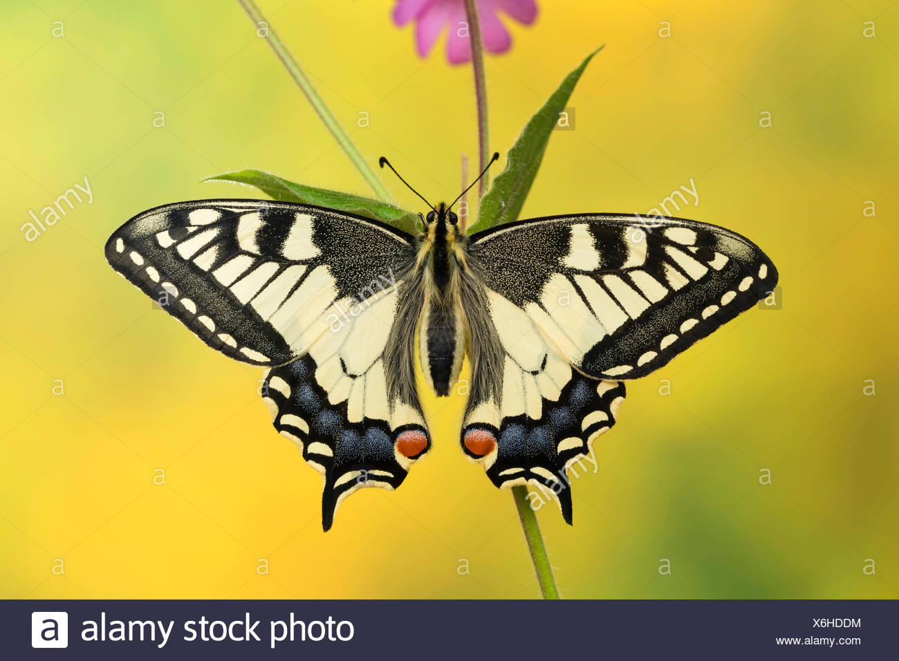 swallowtail (Papilio machaon), sits on a stem, Germany - Stock Image
