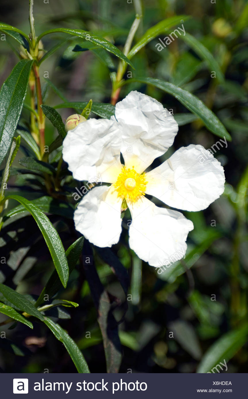 White flower shrub fragrant choice image flower decoration ideas white flower shrub fragrant images flower decoration ideas white flower shrub fragrant gallery flower decoration ideas mightylinksfo Images
