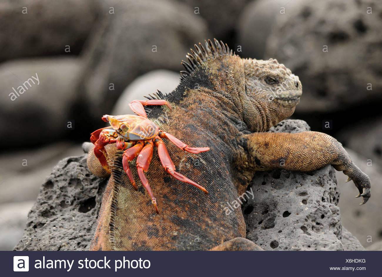 Galapagos sea lizard with no uncertain crab - Stock Image
