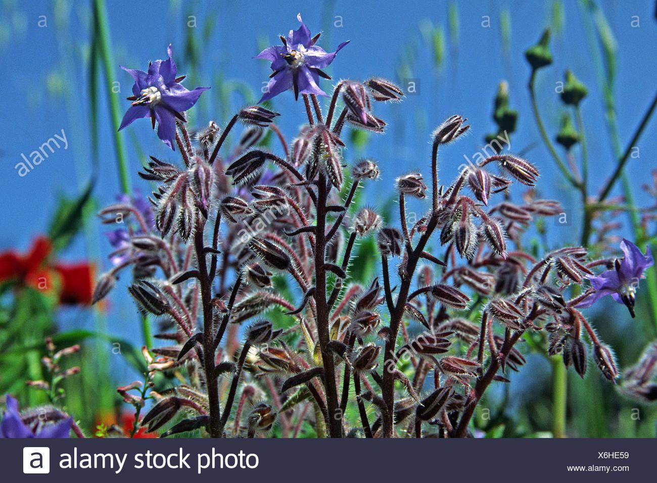 borago officinalis,borage Stock Photo