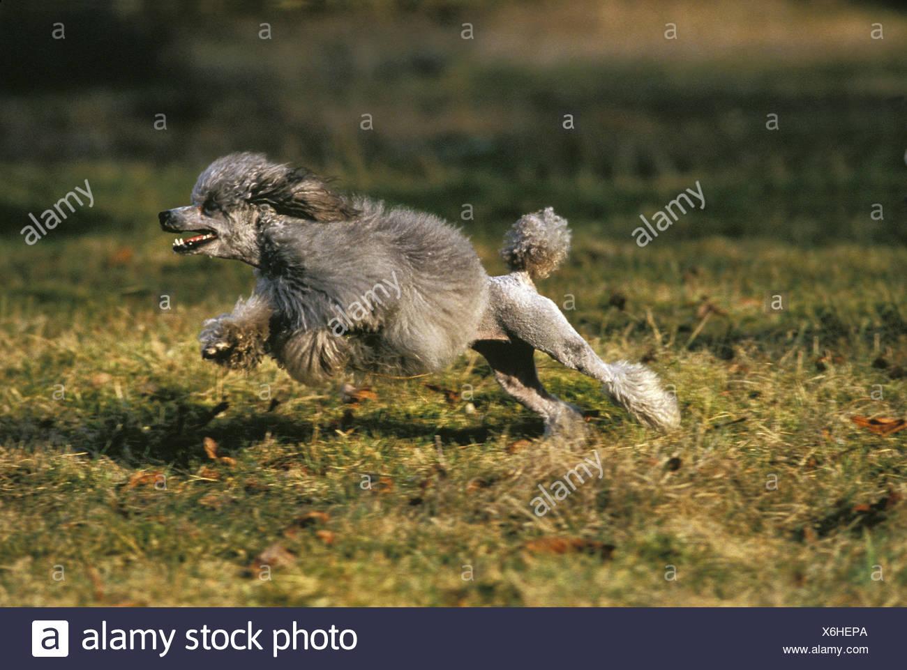 Grey Miniature Poodle Dog running - Stock Image