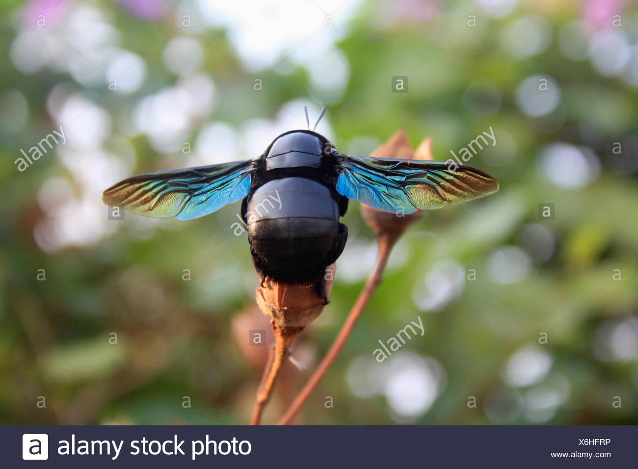 Carpenter Bee, Aarey Milk Colony, Mumbai, India - Stock Image