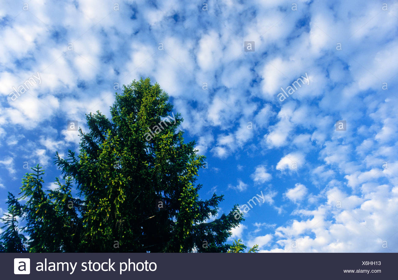 Spruce tree seen from below, blue sky with small clouds - Stock Image