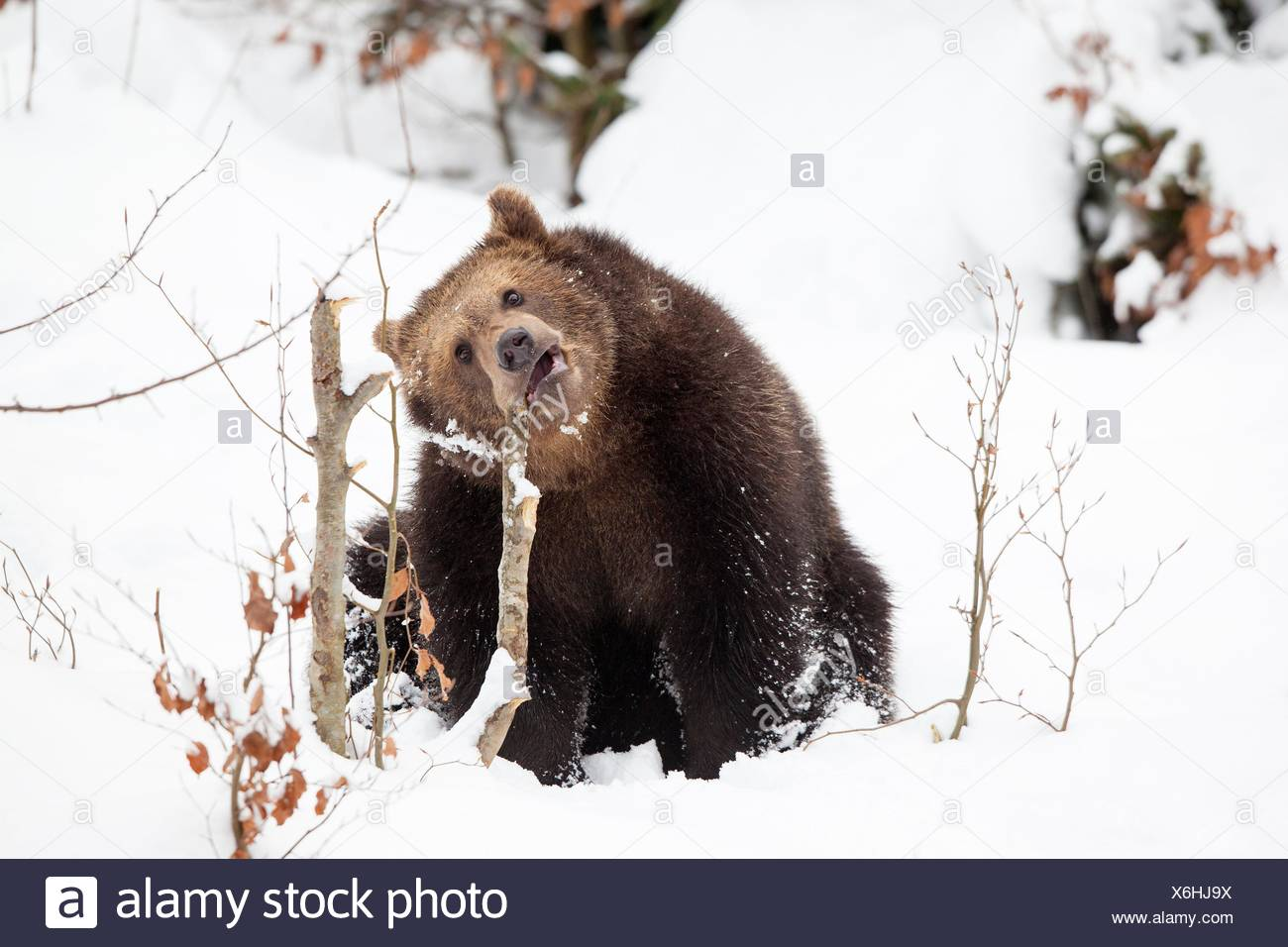 Young Brown bear (Ursus arctos) in the snow, Bavarian Forest National Park, Germany. - Stock Image