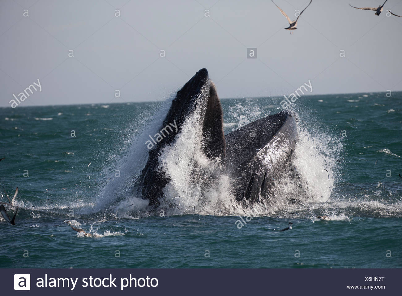 A humpback whale feasts on fish that have congregated in the warm waters of Monterey Bay, California. - Stock Image