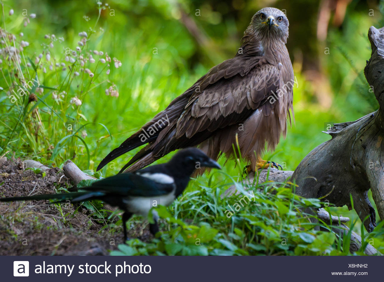 Black kite, Yellow-billed kite (Milvus migrans), sits on a root on the ground and is watched by a magpie, Switzerland, Sankt Gallen, Rheineck - Stock Image