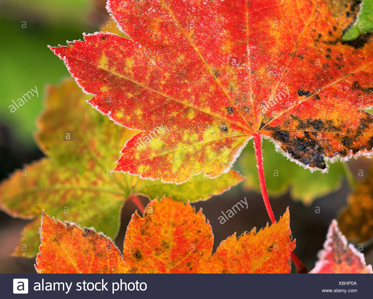 Frost on vine maple leaves - Stock Image