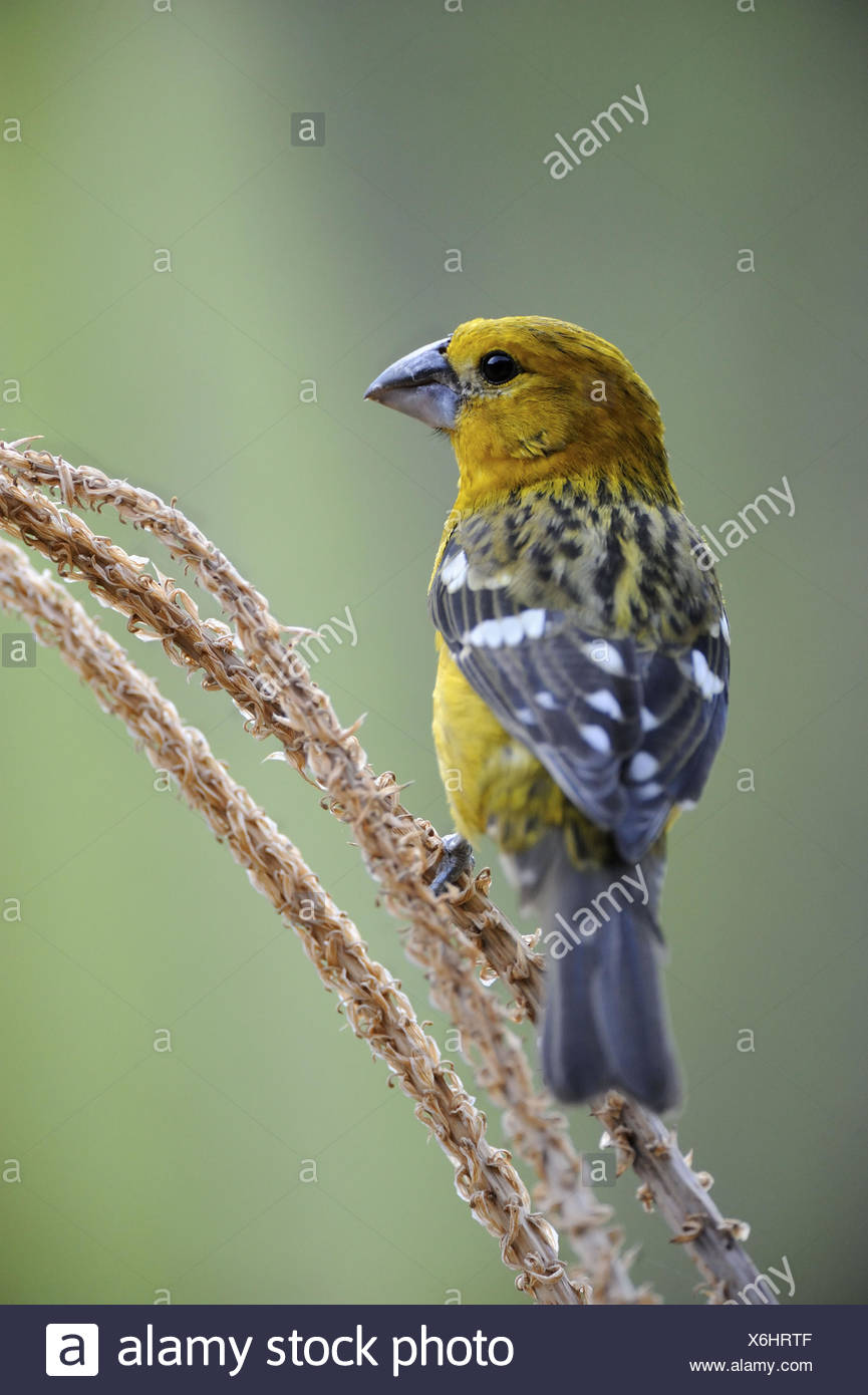 Male golden - bellied grosbeak (Pheuctinus chrysogaster) Chaparri Ecological Reserve, Peru, South America Stock Photo