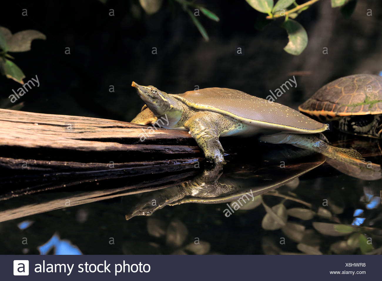 Spiny softshell turtle/, adult, North America / (Apalone spinifera) - Stock Image