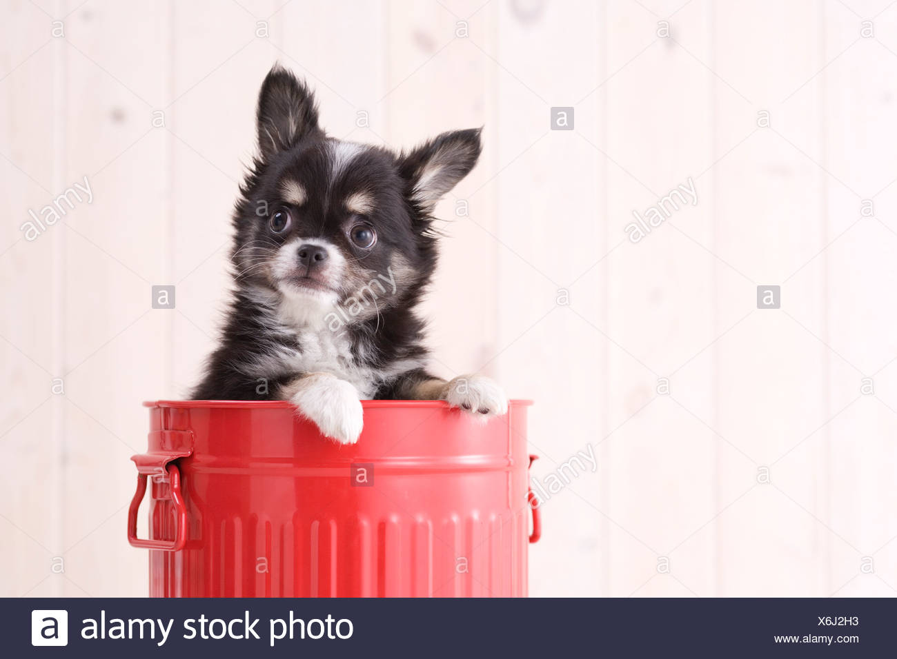 Chihuahua in a bucket - Stock Image