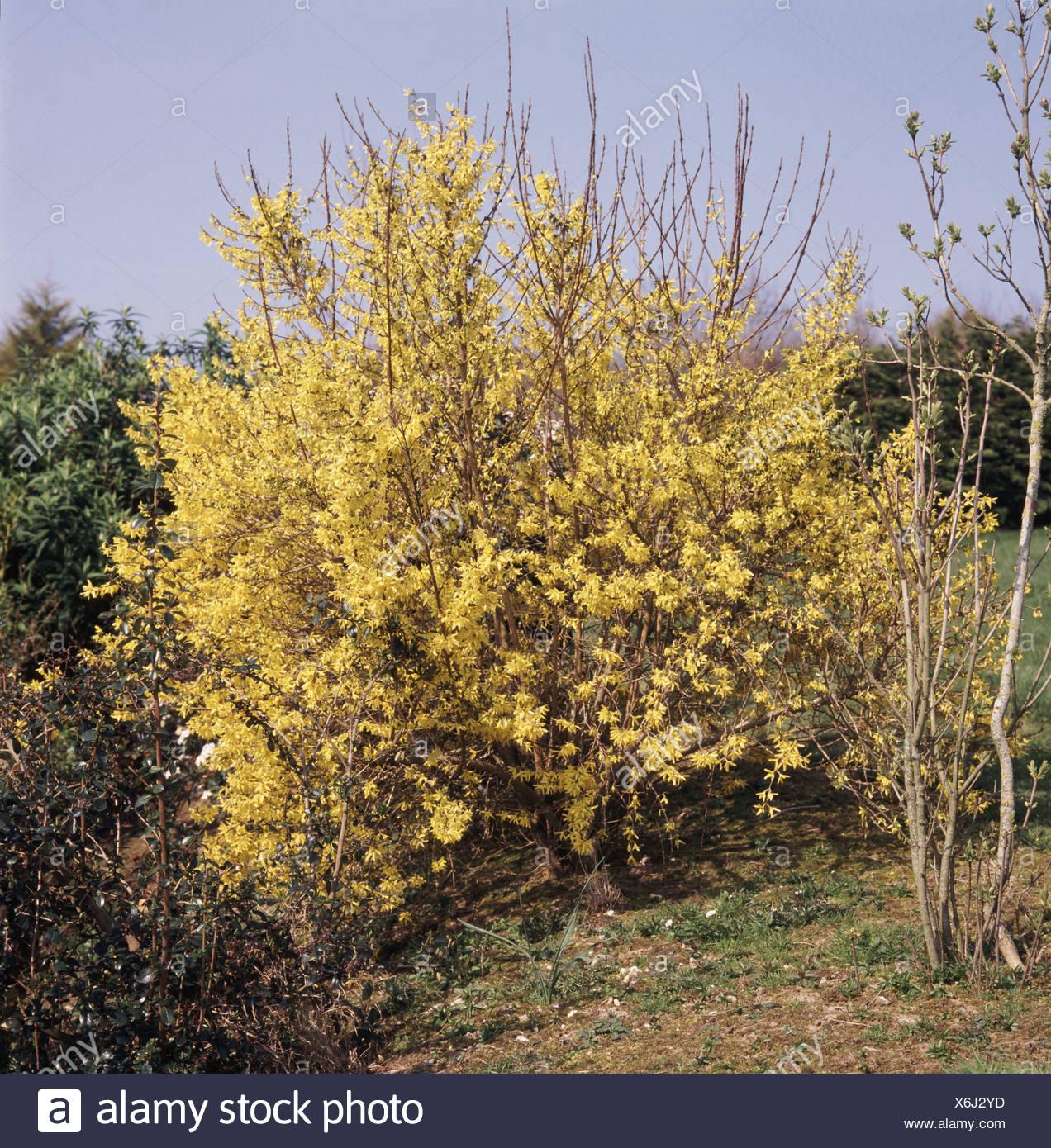 Yellow early flowering Forsythia shrub in garden setting Stock Photo