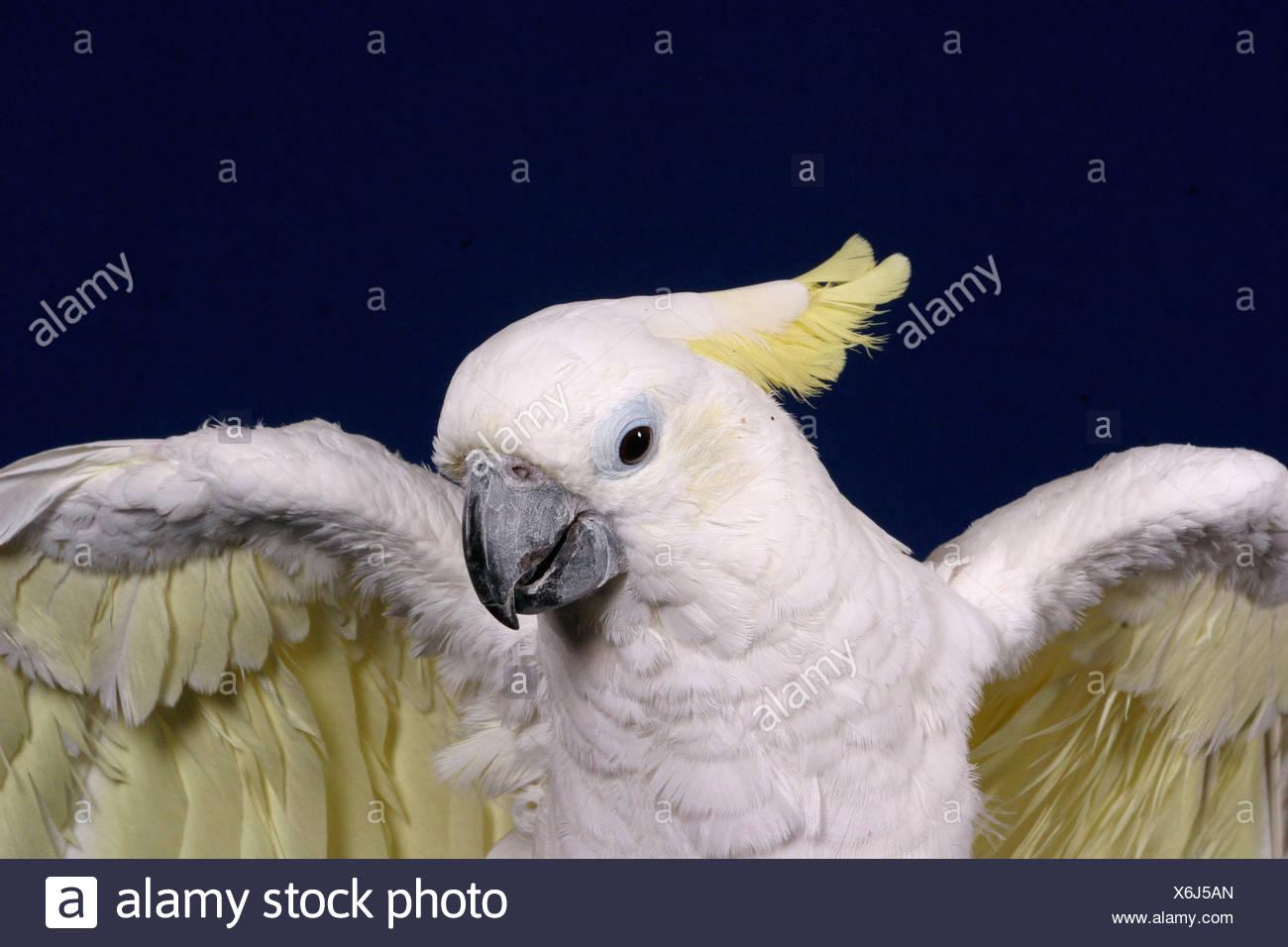 Gelbwangenkakadu / Cockatoo Stock Photo