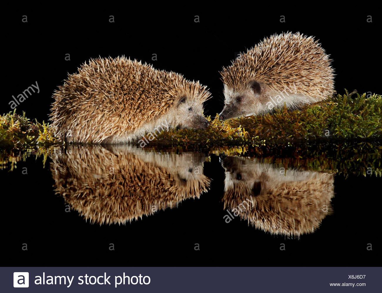 European hedgehogs at night and their reflection -Spain - Stock Image