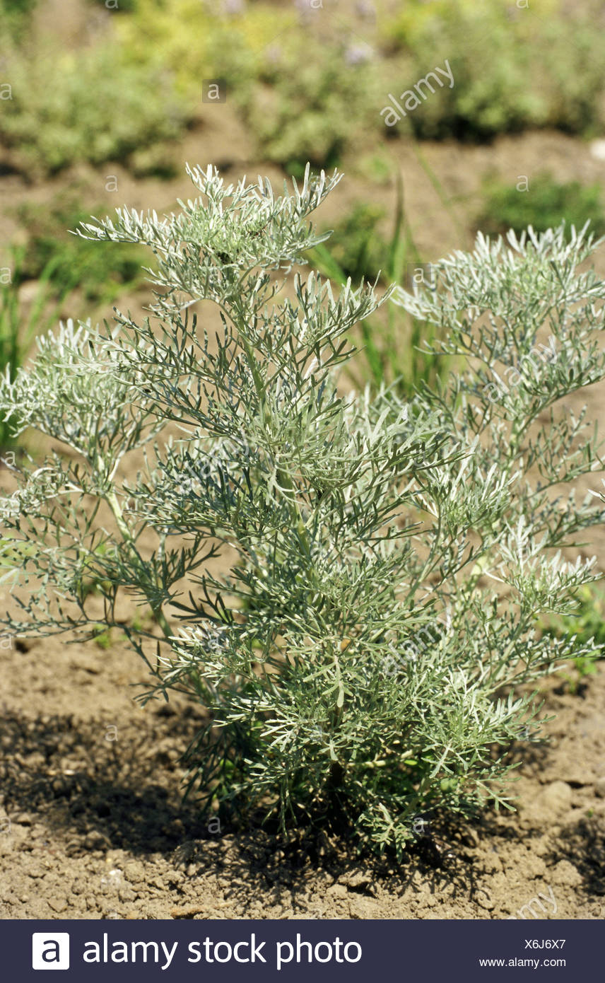 botany, Artemisia, Tree Wormwood (Artemisia arborescens), , Additional-Rights-Clearance-Info-Not-Available - Stock Image