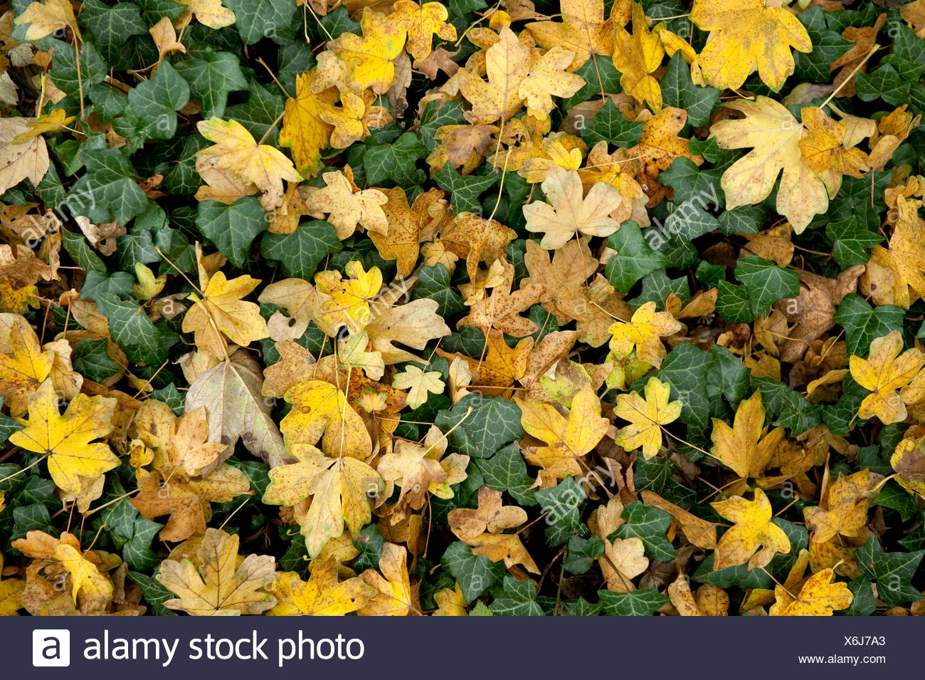 Autumn leaves on woodland floor Field Maple Acer campestre & Ivy Ranscombe Farm Nature Reserve Kent UK yellow green - Stock Image