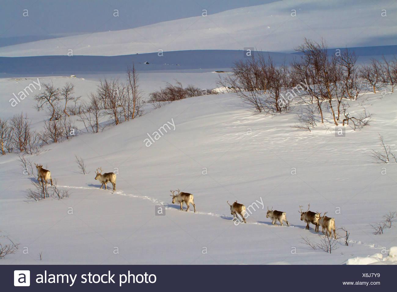reindeer, caribou (Rangifer tarandus), herd walking one behind another in snowy landscape, Norway, Nordland, Saltfjell Stock Photo