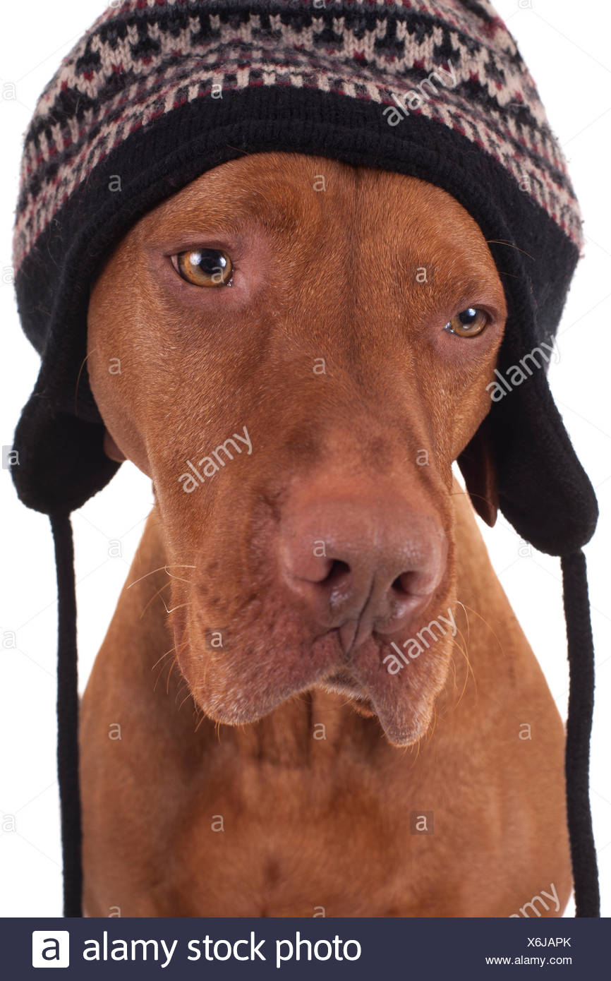 bc9760f7106d00 pure breed hunting dog wearing a winter hat covering ears on white  background