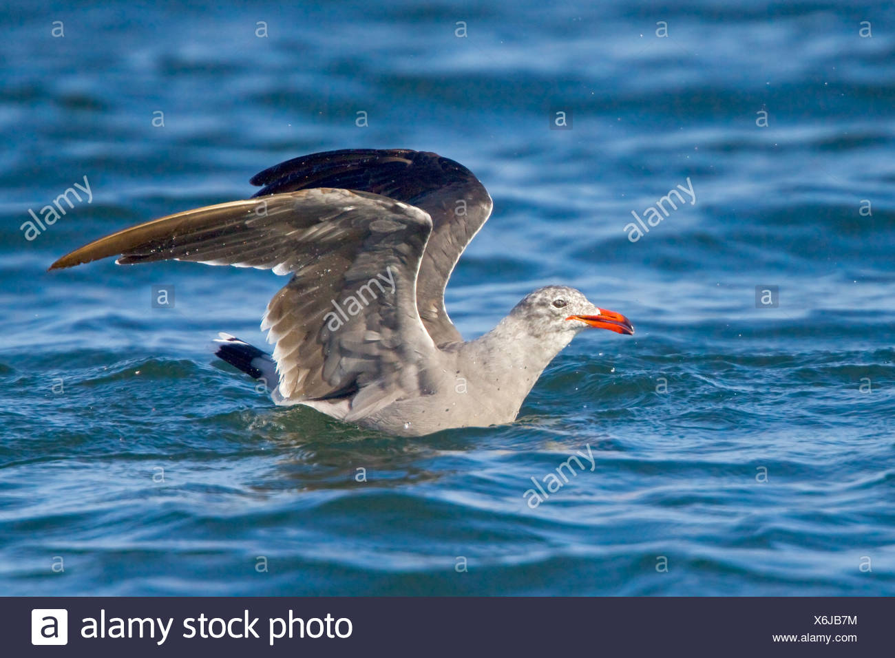 Heermann's Gull (Larus heermanni) flying in Washington, USA. - Stock Image