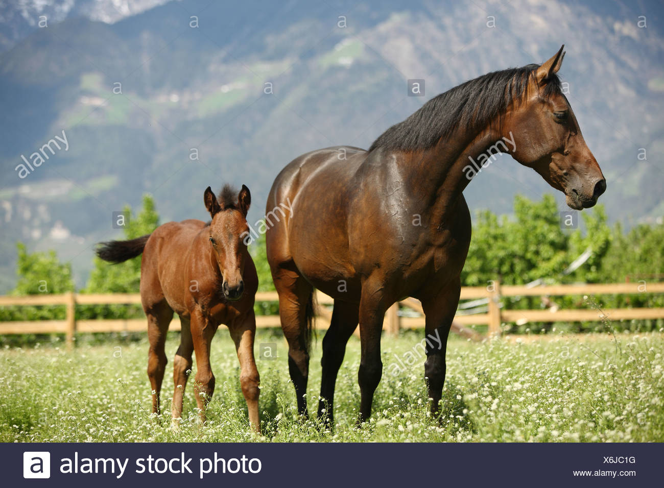Oldenburg horse mare with foal - standing on meadow - Stock Image
