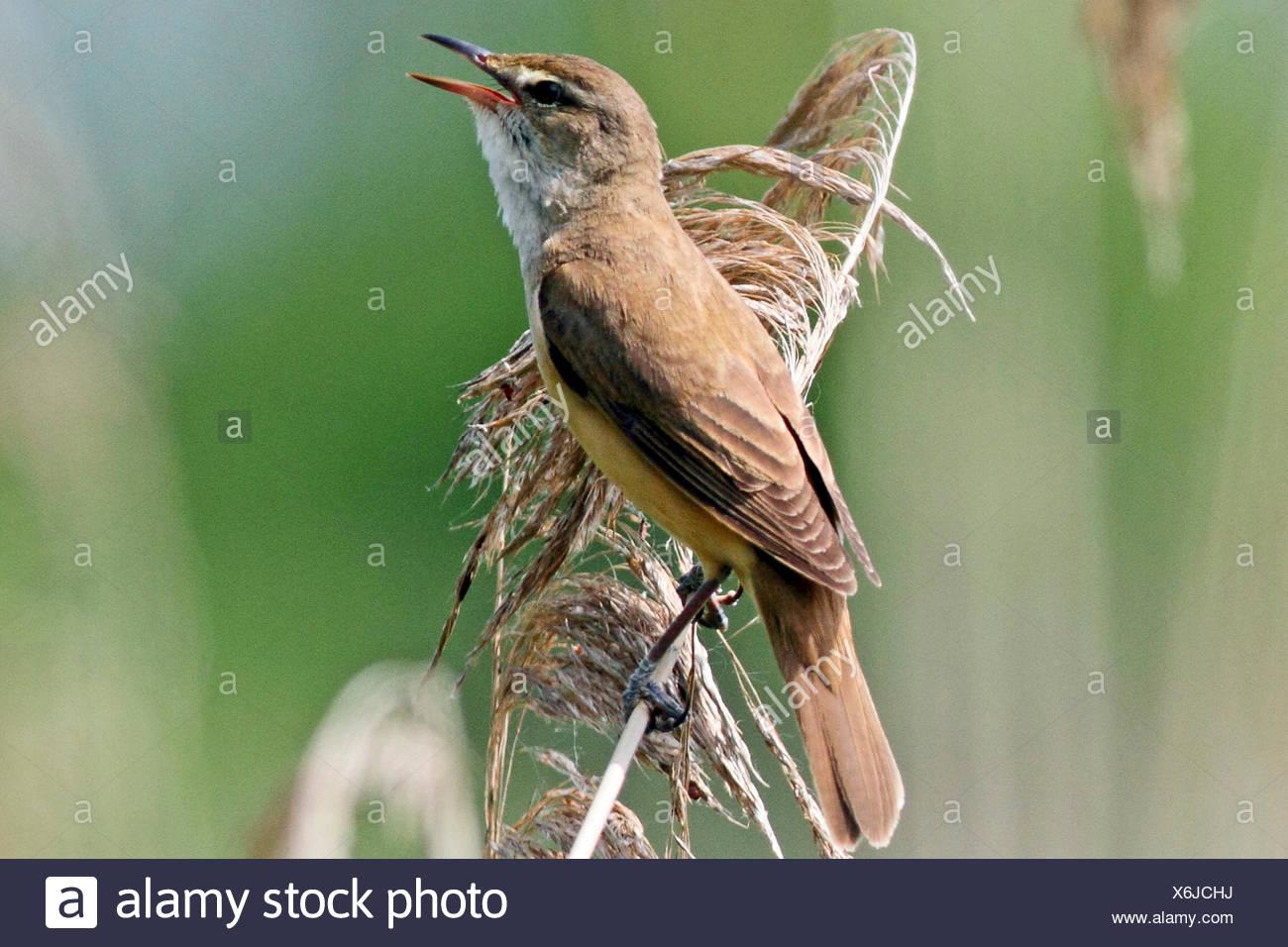 great reed warbler (Acrocephalus arundinaceus), sings on reed, Germany - Stock Image
