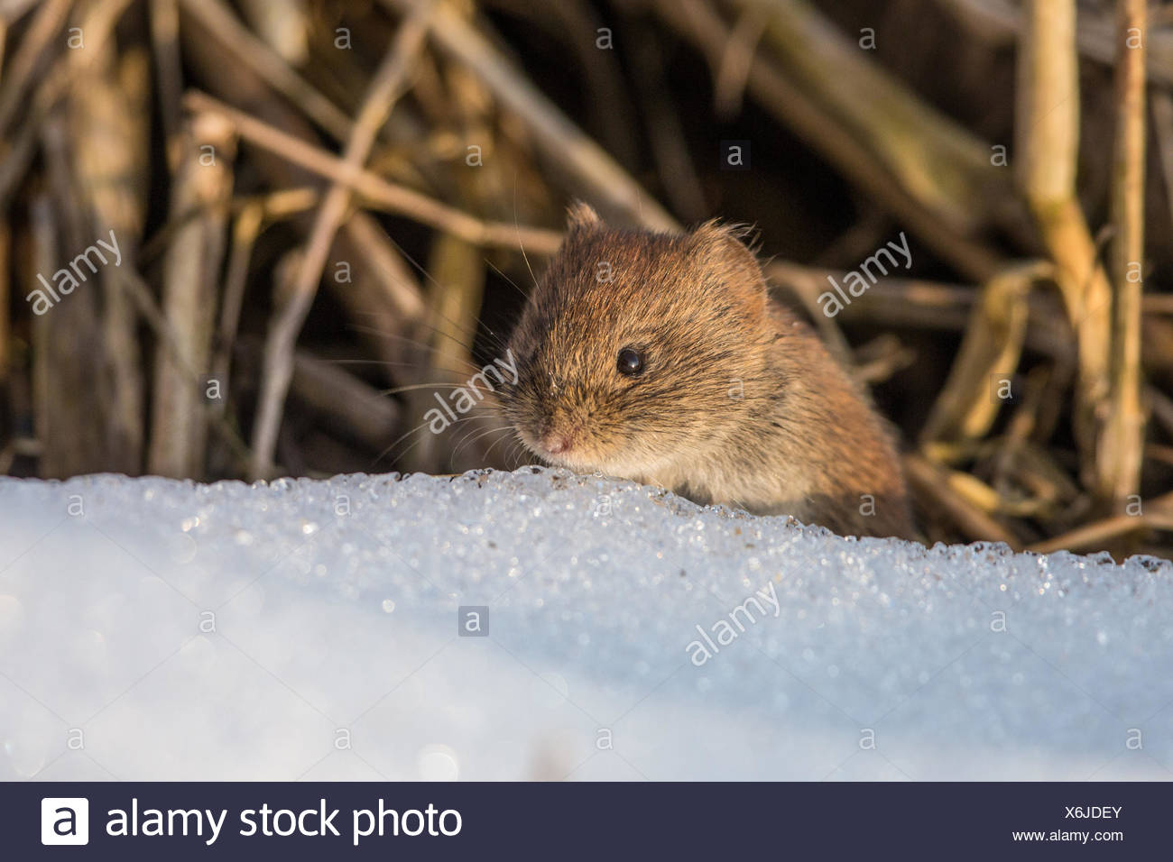 bank vole (Clethrionomys glareolus, Myodes glareolus), portrait over snow, Germany, Bavaria, Lake Chiemsee - Stock Image