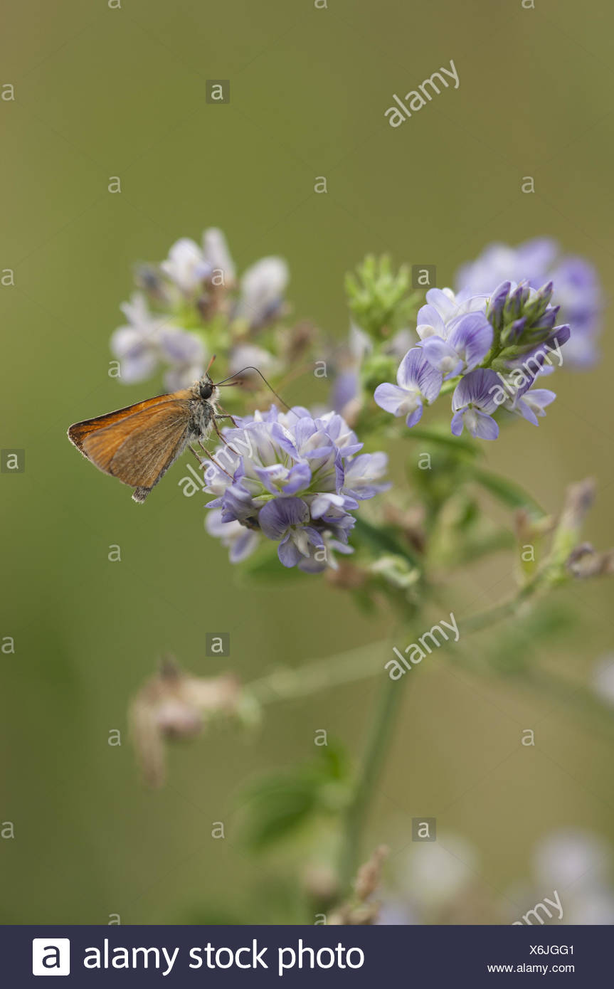 Small Skipper (Thymelicus sylvestris), Germany - Stock Image