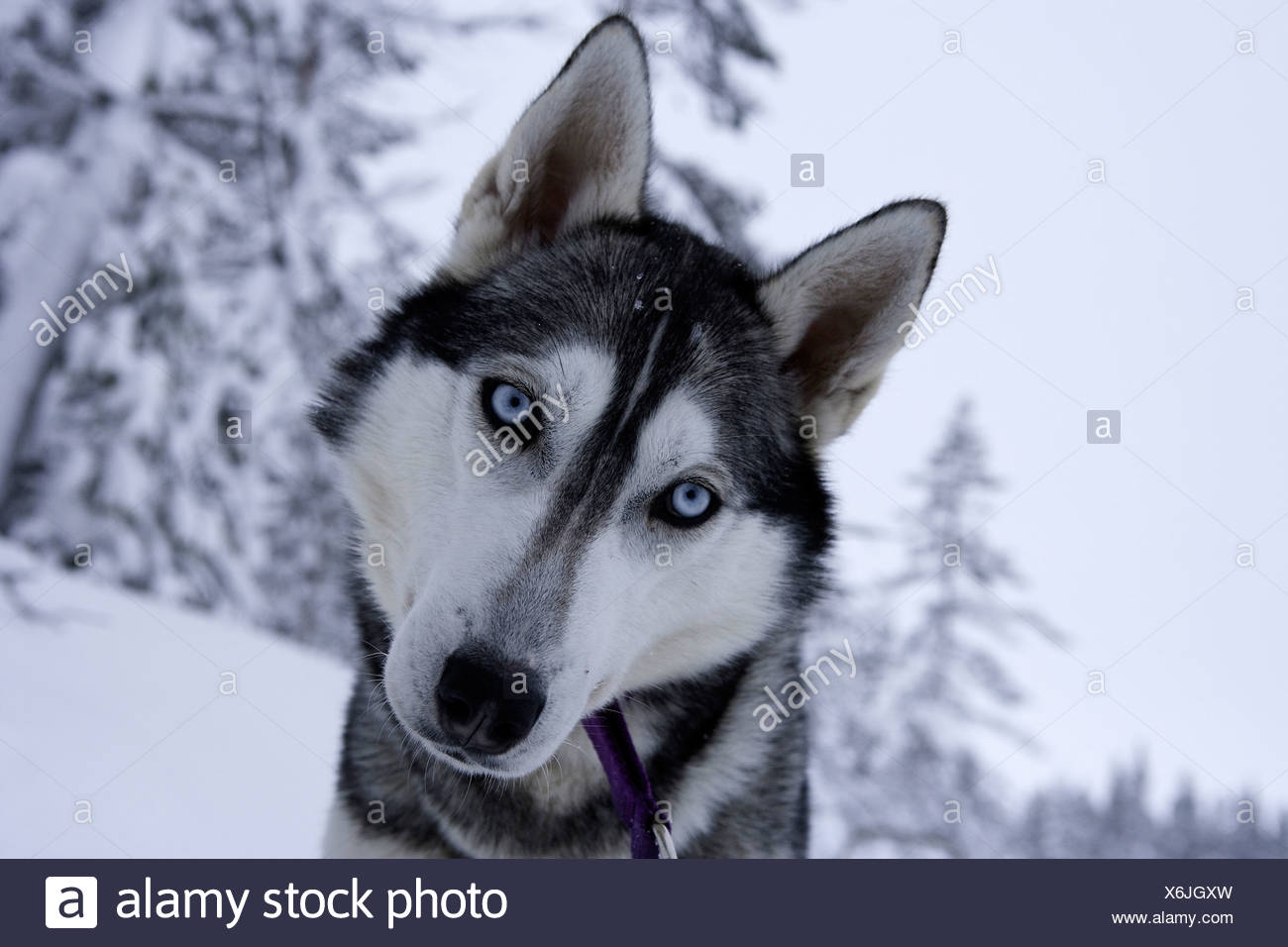 Siberian Husky Sled Dogs, Canis lupus familiaris, Lapland, Finland - Stock Image
