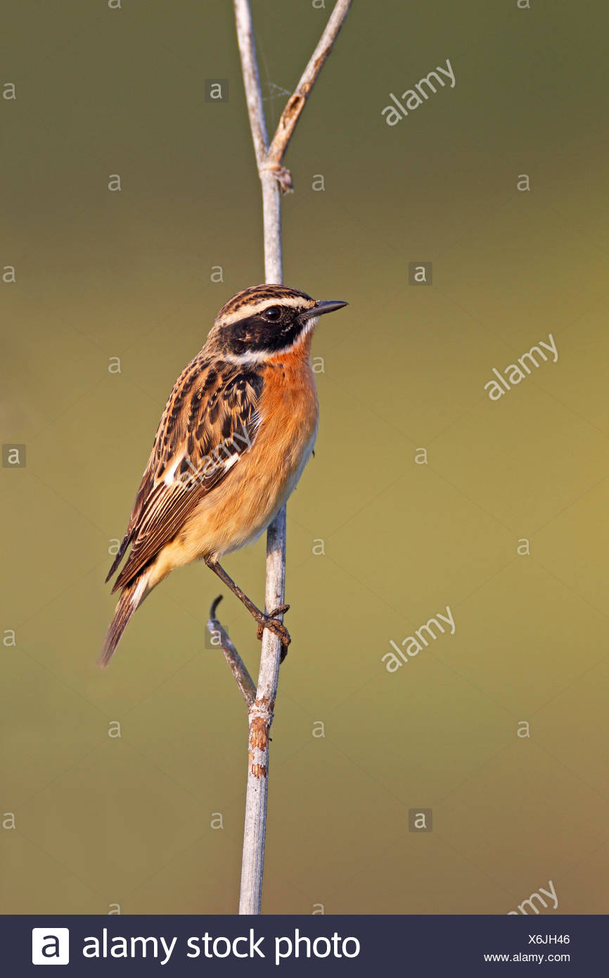 whinchat (Saxicola rubetra), male sitting at a stalk, Greece, Lesbos - Stock Image