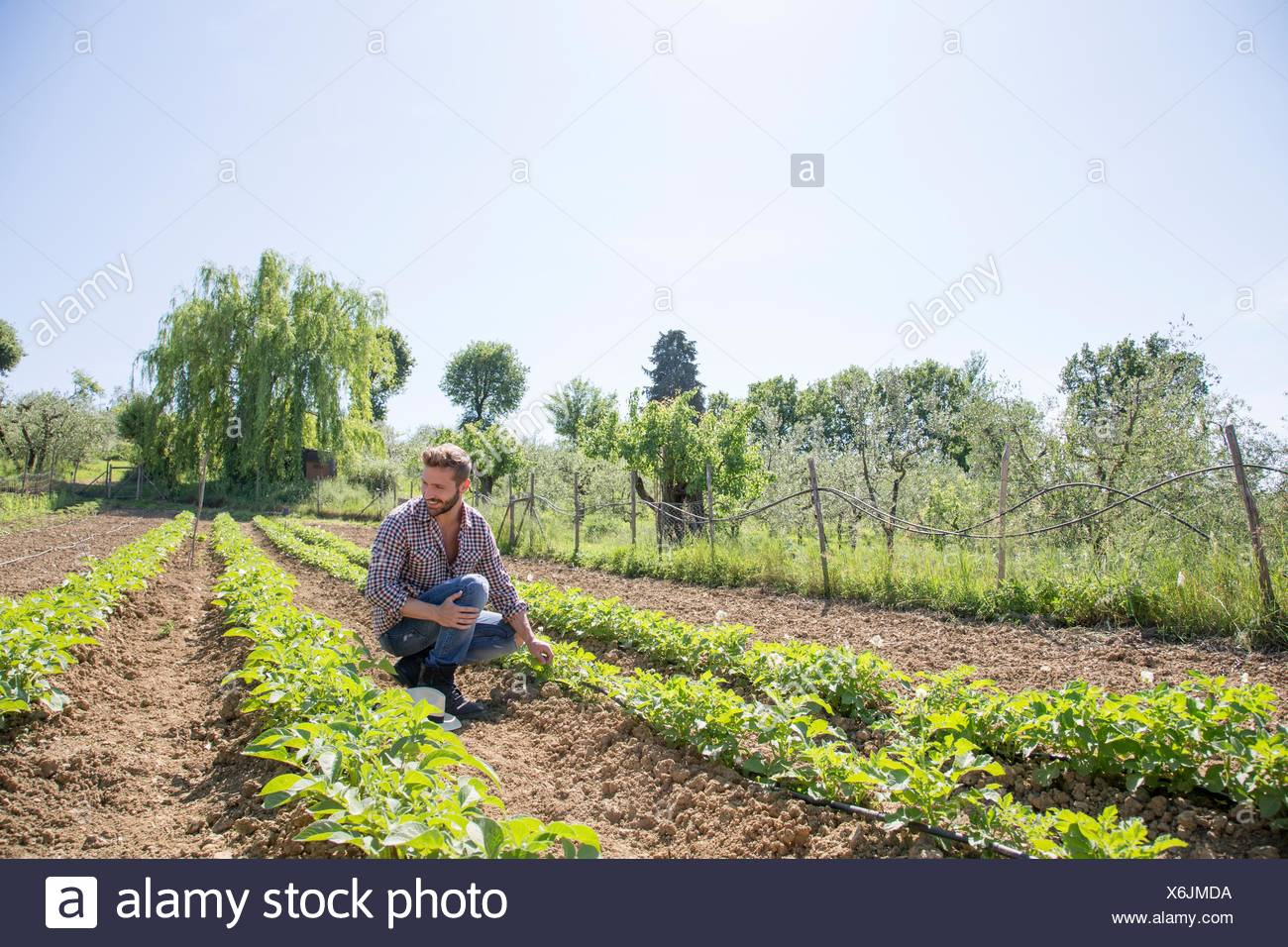 Young man crouched in field looking at tomato plants - Stock Image