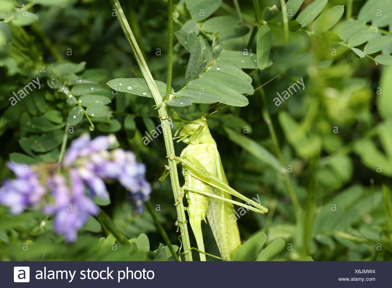 green grasshopper, tettigonia viridissima - Stock Image
