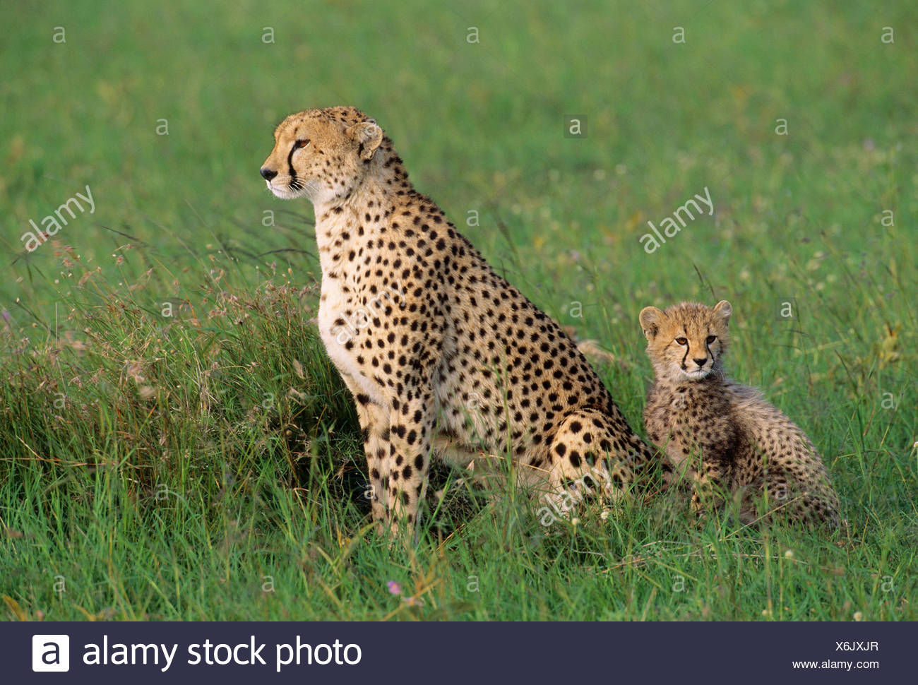 Adult Female Cheetah Acinonyx jubatas stands with cub looking out on savanna Stock Photo