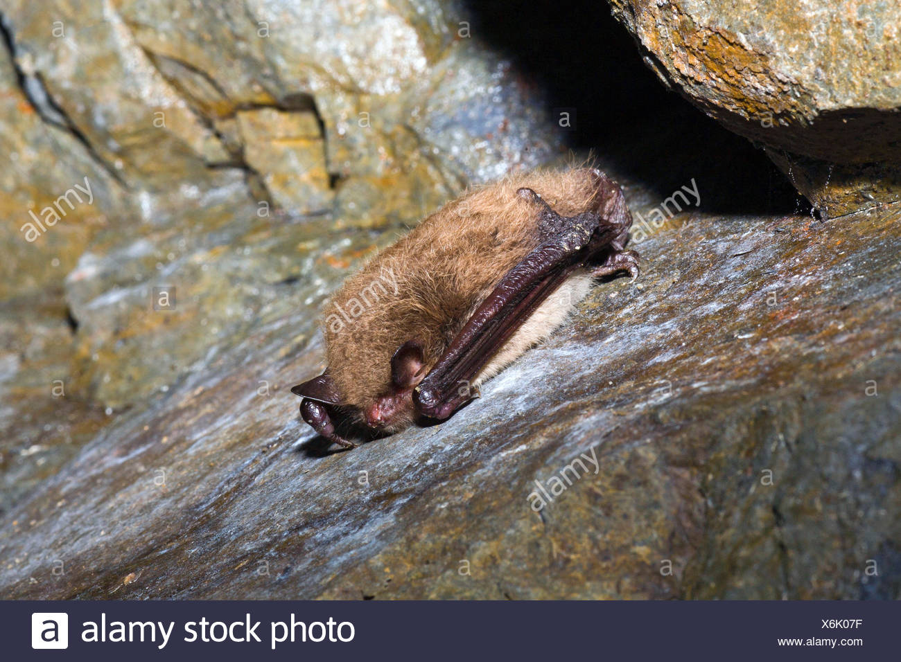 Daubenton's bat (Myotis daubentoni), hibernating at a rock wall, Germany, Lower Saxony - Stock Image