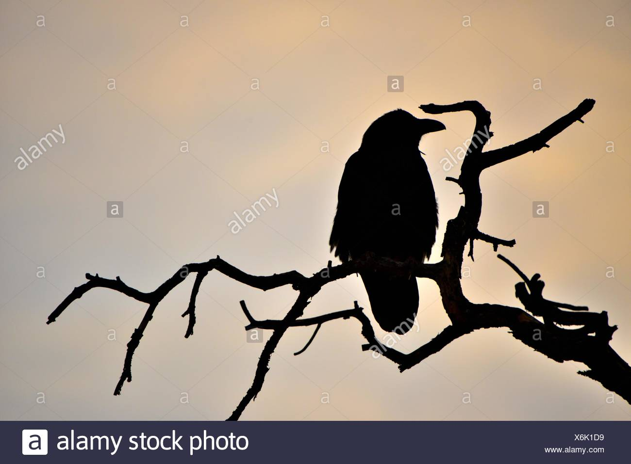 Raven Silhouette On A Tree Branch Stock Photo Alamy Affordable and search from millions of royalty free images, photos and vectors. https www alamy com raven silhouette on a tree branch image279472069 html