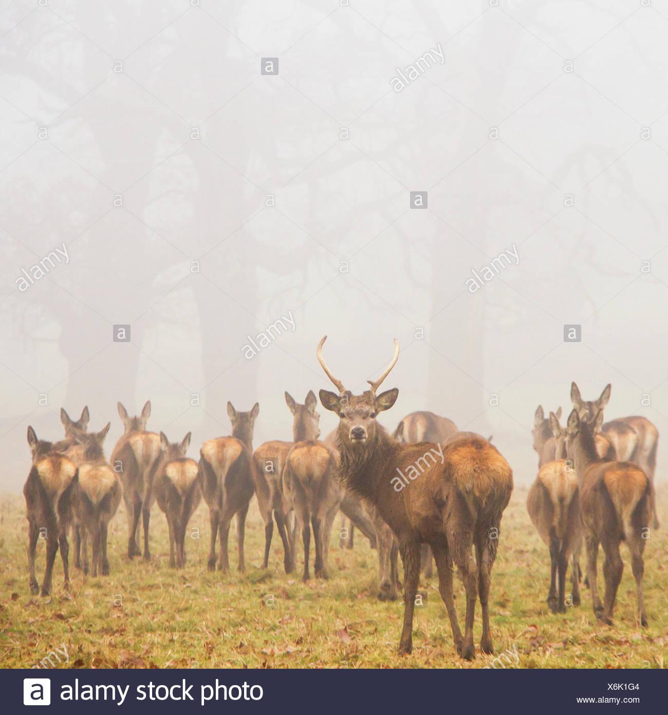Herd of deer in park, Berkshire, England, UK - Stock Image