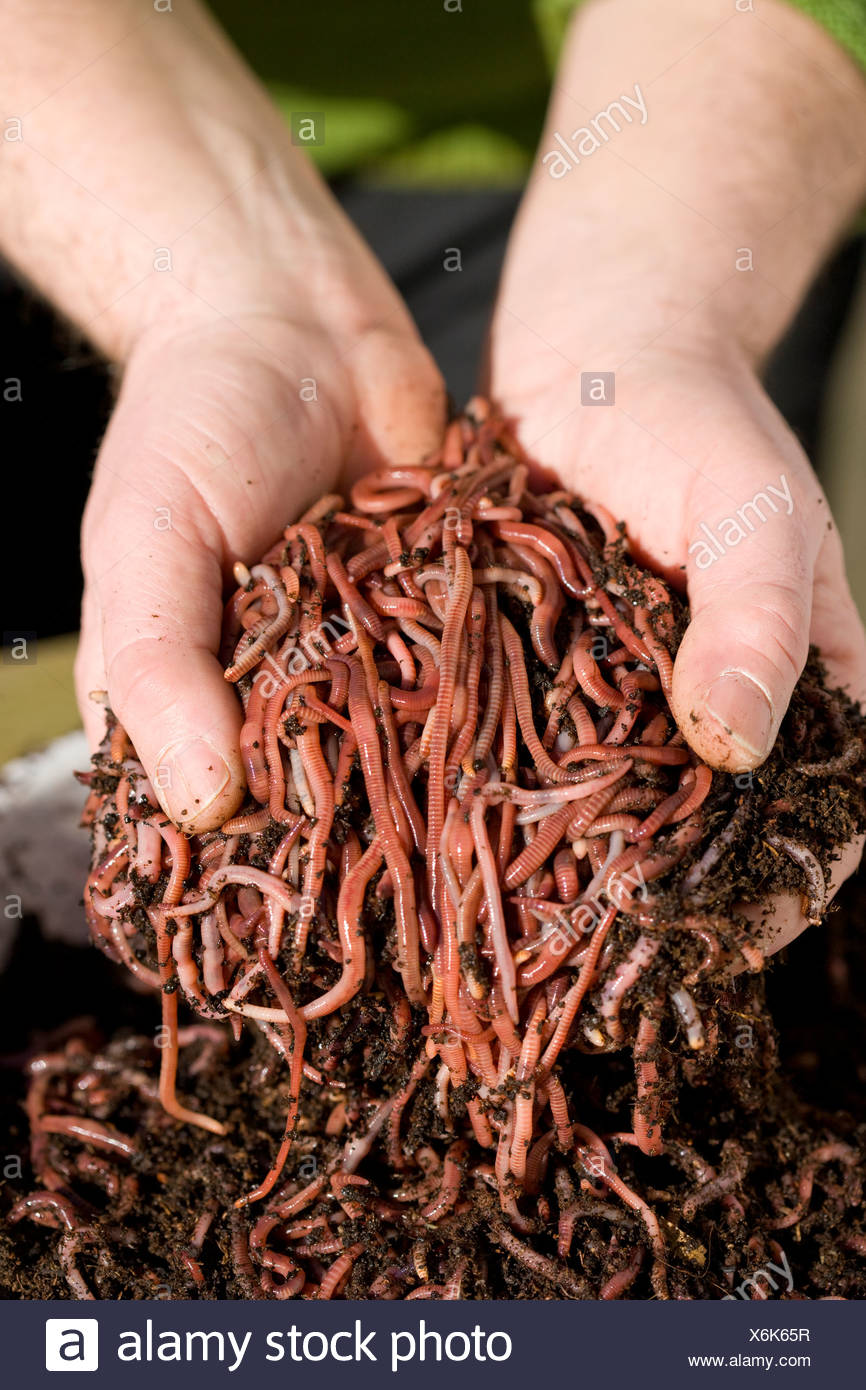Close up man holding handful of earth worms - Stock Image